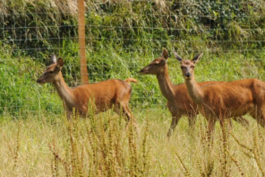 Ciervos reales en la pradera de Ekainberri